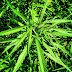 Scientists Find Marijuana Compound Fights Cancer