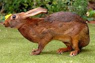 Белгийски заек(Belgian Hare)