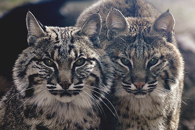 wild north american cats