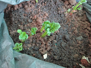 Sprouts coming out from potato seeds