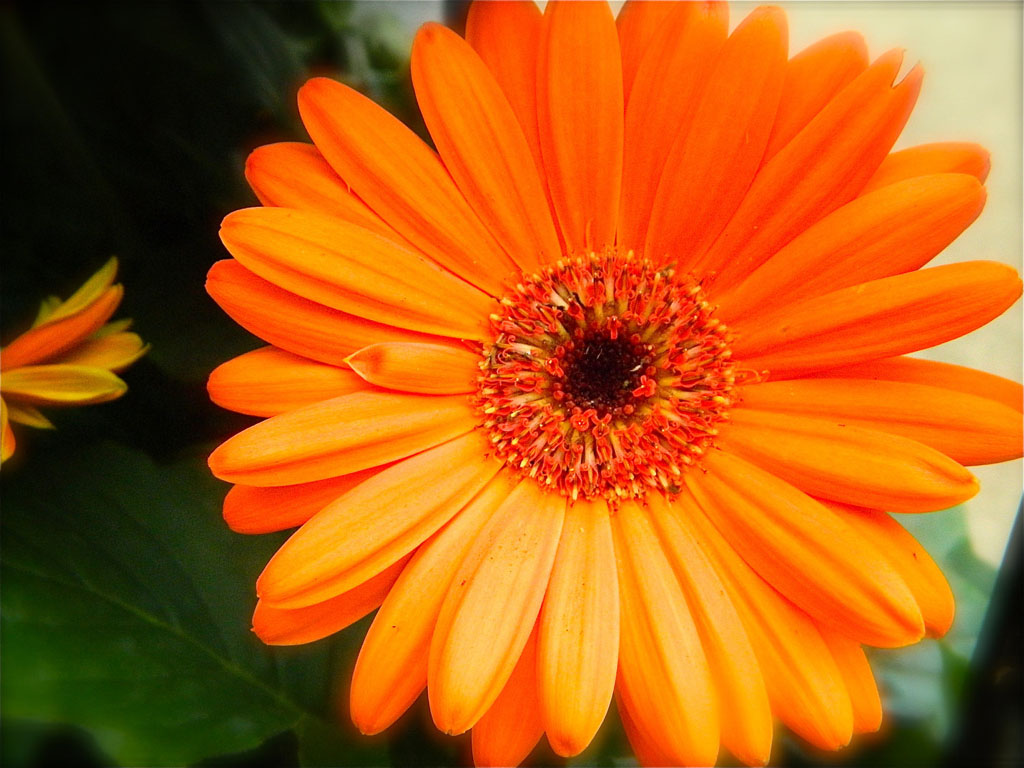 wallpapers Orange Gerbera Daisy Flowers Wallpapers