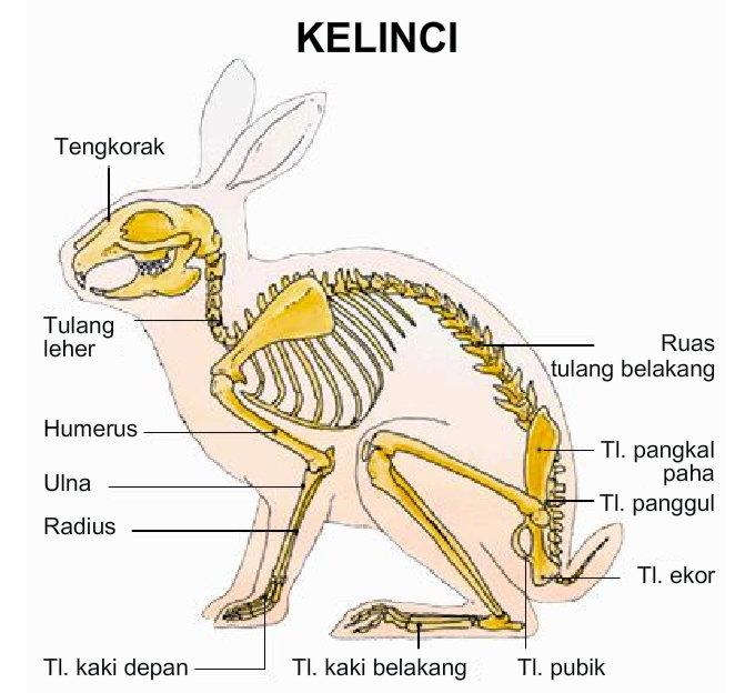 Morfologi Dan Anatomi Kelinci Biologi Educations