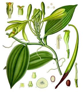 Baunilha, Vanilla planifolia