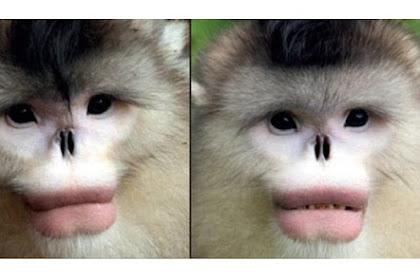 Bisa Menebak, Apakah Ini Monyet Jantan Atau Betina?