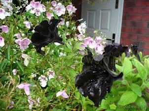 Czarne kwiaty – najpiękniejsze gatunki i odmiany
