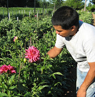 Lynch Creek staffer Arturo, who keeps the fields healthy and weed-free, checks the status of dahlia Mingus Toni.