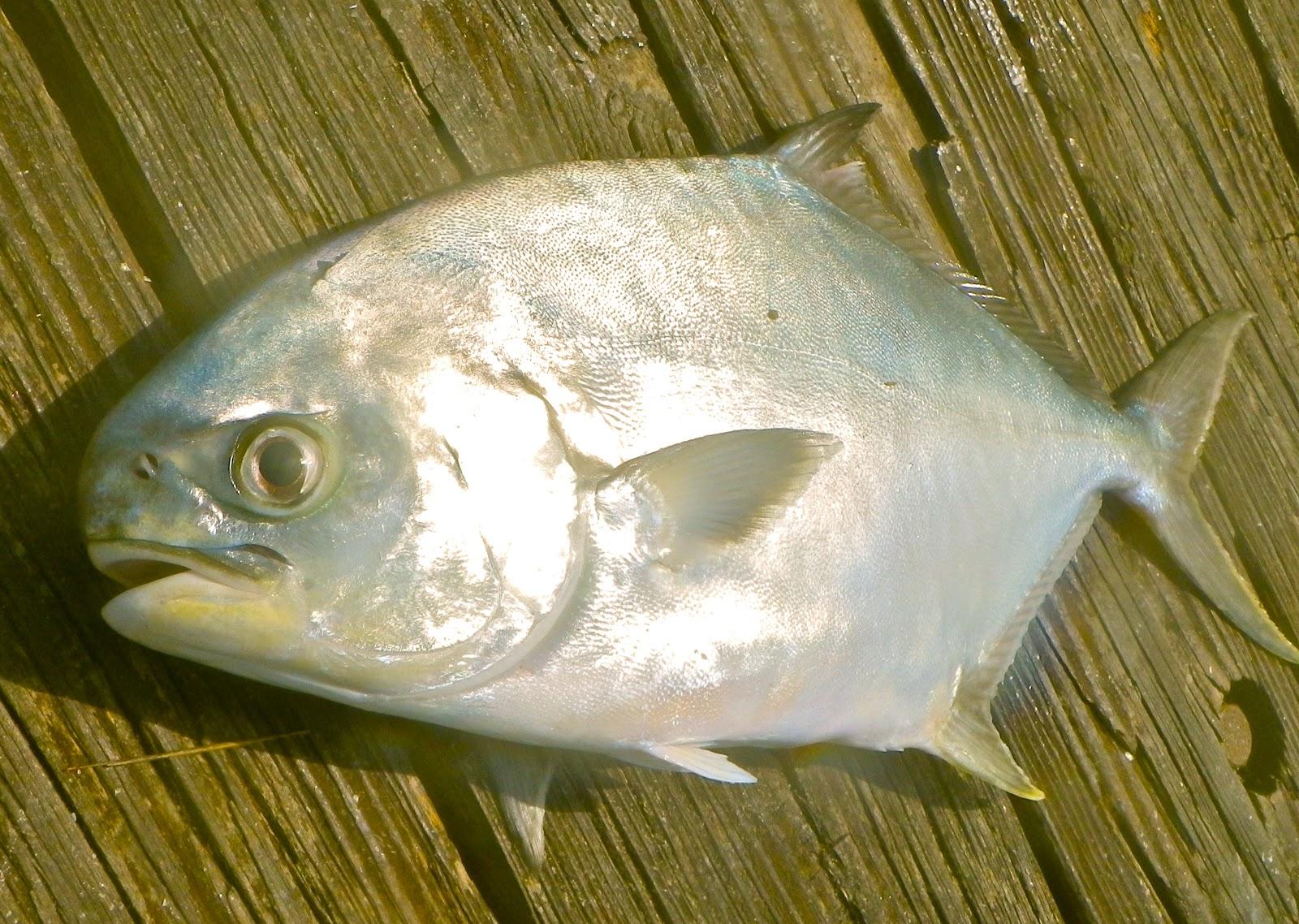 On foot angler juno beach fishing pier report for Juno pier fishing report