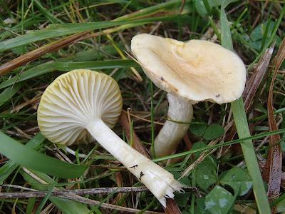 Wodnicha modrzewiowa Hygrophorus lucorum