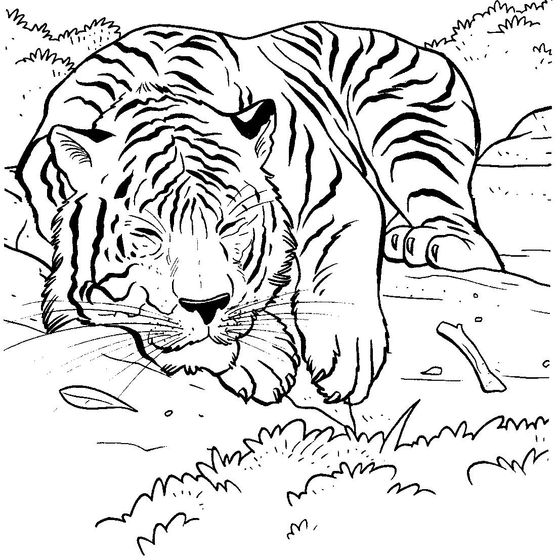 Mewarnai Gambar Harimau Download Semua Gambar
