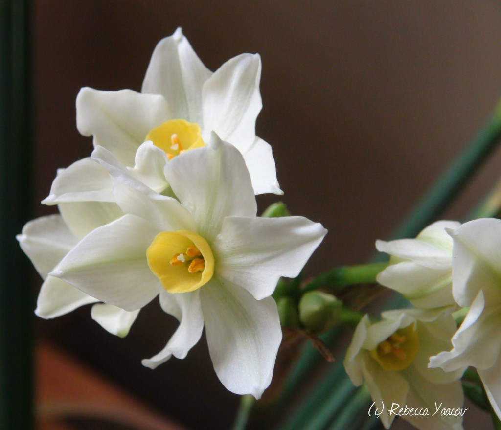 narcissus flower  flowers world, Natural flower