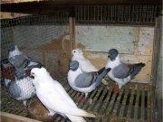 Peluang Usaha Ternak Merpati Hias dan Ayam Hias