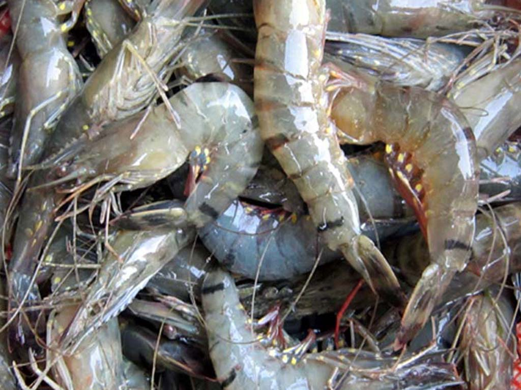 shrimp, shrimp farming, saltwater fish, fish farming, fish farming in bd, fish farming business, commercial fish production, commercial fish farming, commercial fish farming business