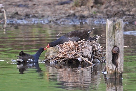 adult moorhens and nest