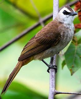 Gambar Burung Cerukcuk