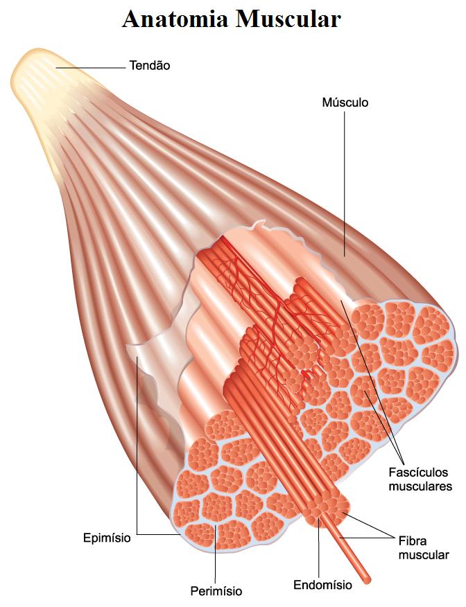 Lujoso Anatomía De Una Célula Muscular Imagen - Anatomía de Las ...