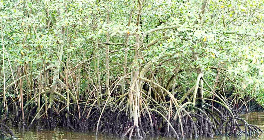 CENRO-Borongan to rehabilitate mangroves in the province