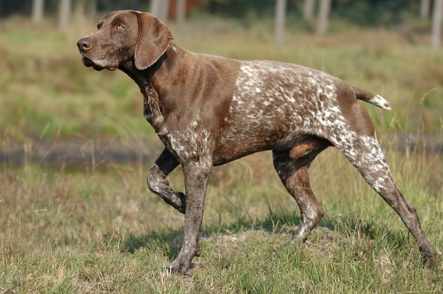 German Shorthaired Pointer Hunting Dog