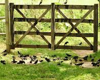 Pássaros-pretos