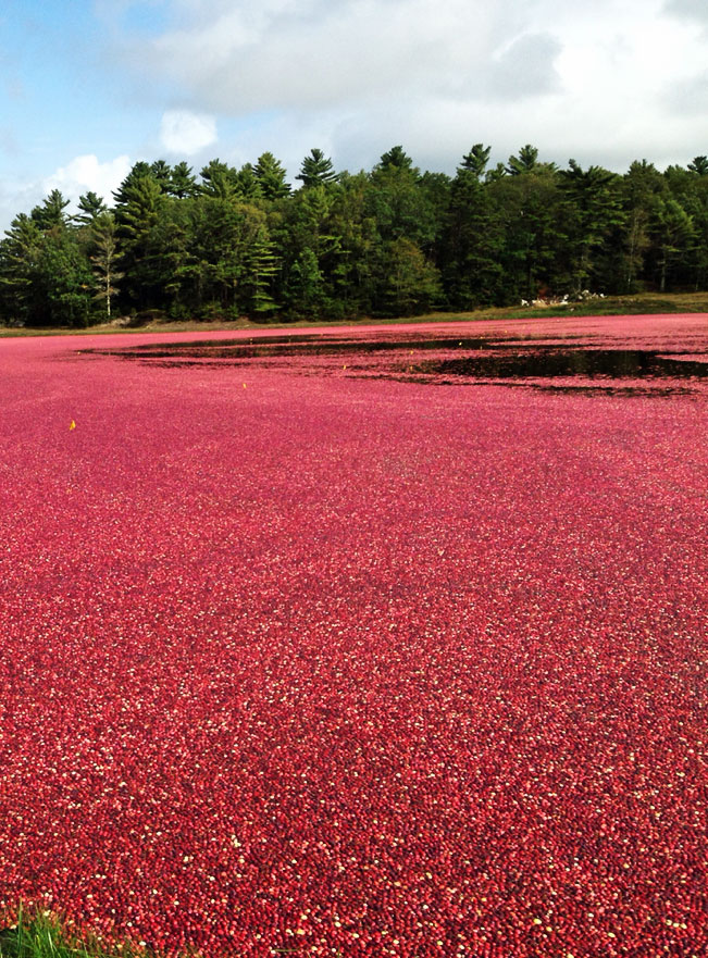 Cape Cod Cranberries | A bog is flooded to make picking cranberries easier | Photo by J. LaBelle