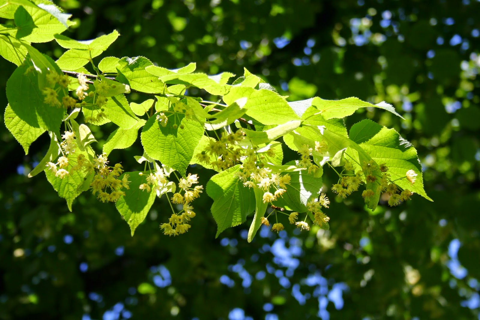 Benefits Of Linden Tree For Health