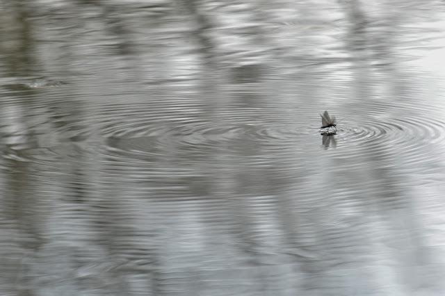 large winter stonefly skimming on water