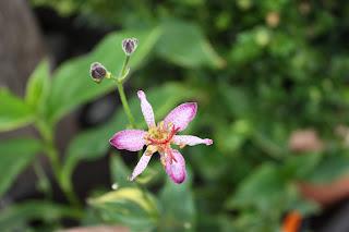 Samuri Toad lily