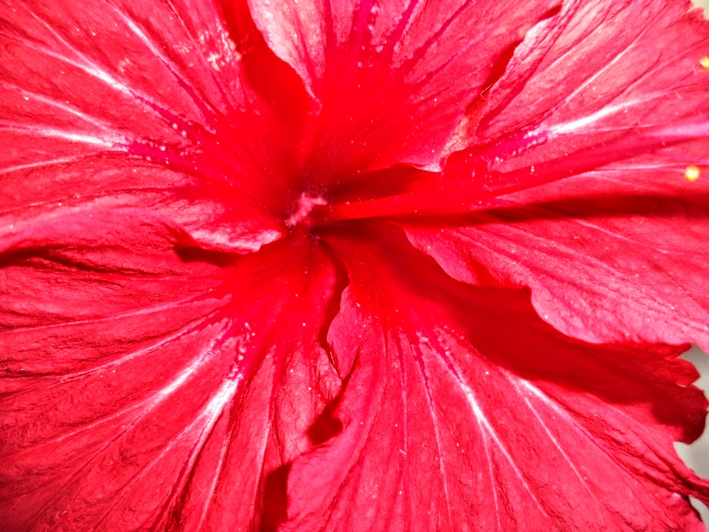 Red flower, hibiscus flower, plucked hibiscus,