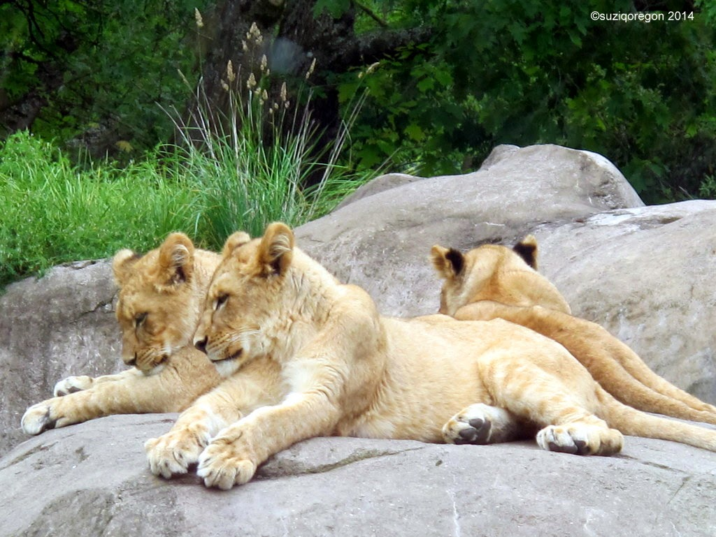 Lion cubs  - Oregon Zoo
