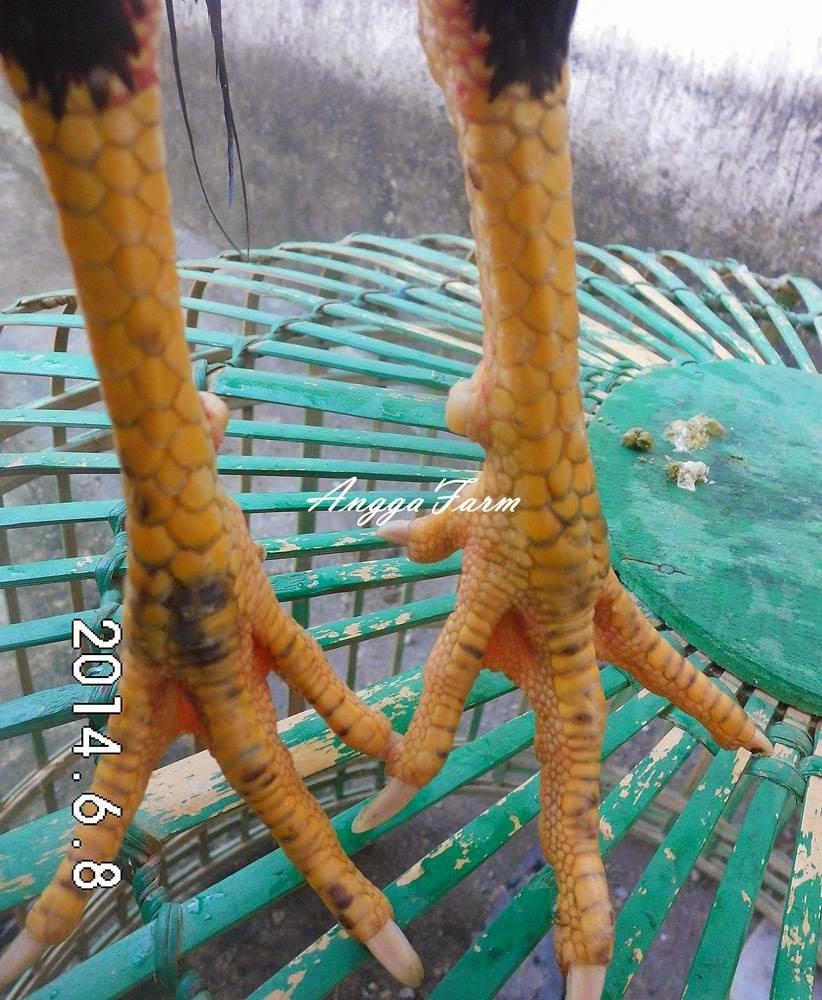 ayam aduan af47 birma vietnam terjual