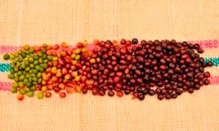 Estágios de maturação das cerejas de café