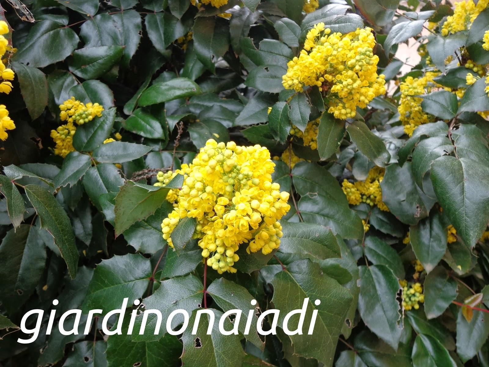 Il giardino delle naiadi mahonia aquifolium - Fiori gialli profumati ...