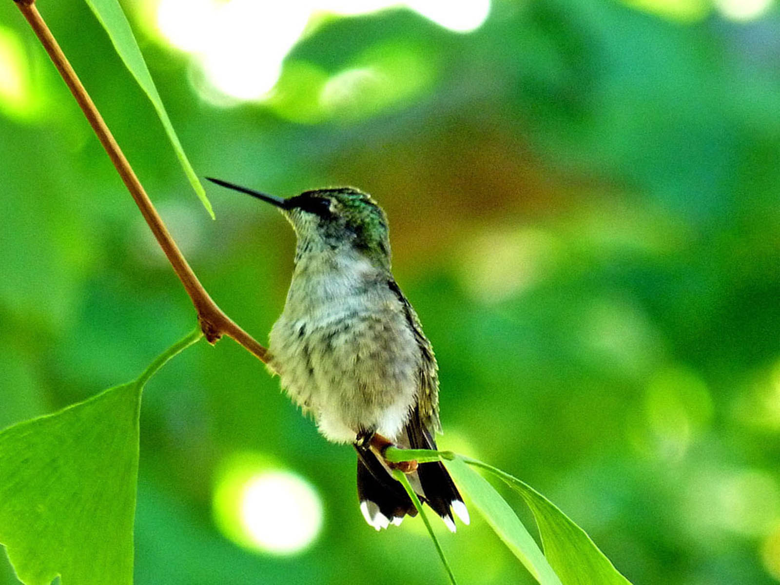 Tag: Hummingbird Wallpapers, Backgrounds, Photos, Images andPictures ...