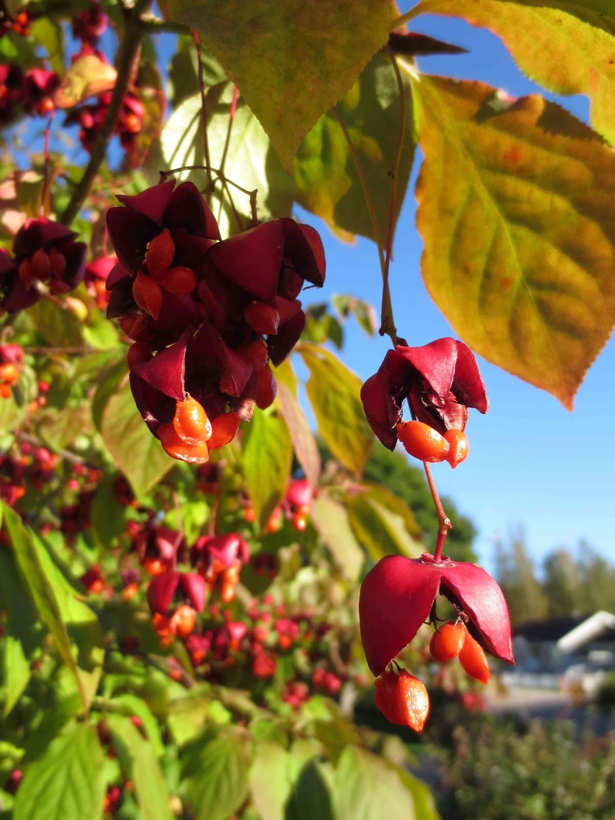 Rickardssons rosor & rabarber: blad med glöd, en massa andra löv ...