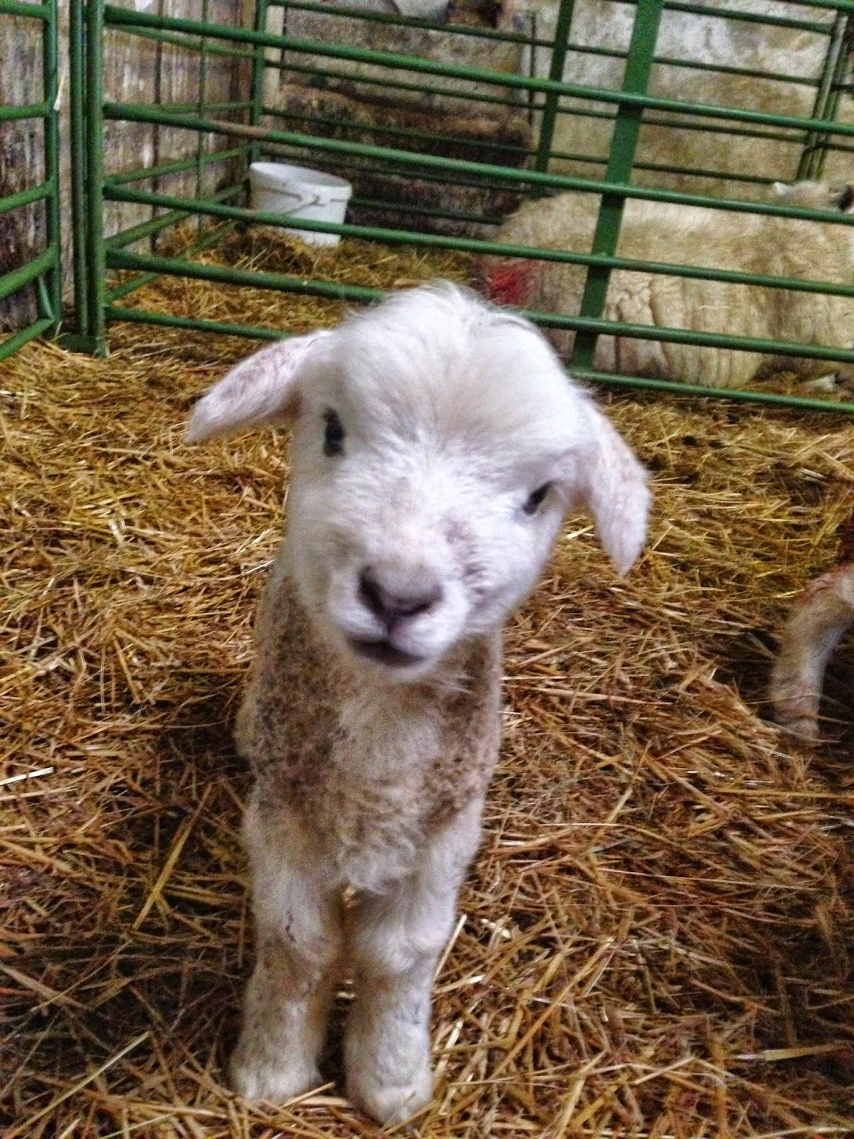 Cute Dorset Lambs