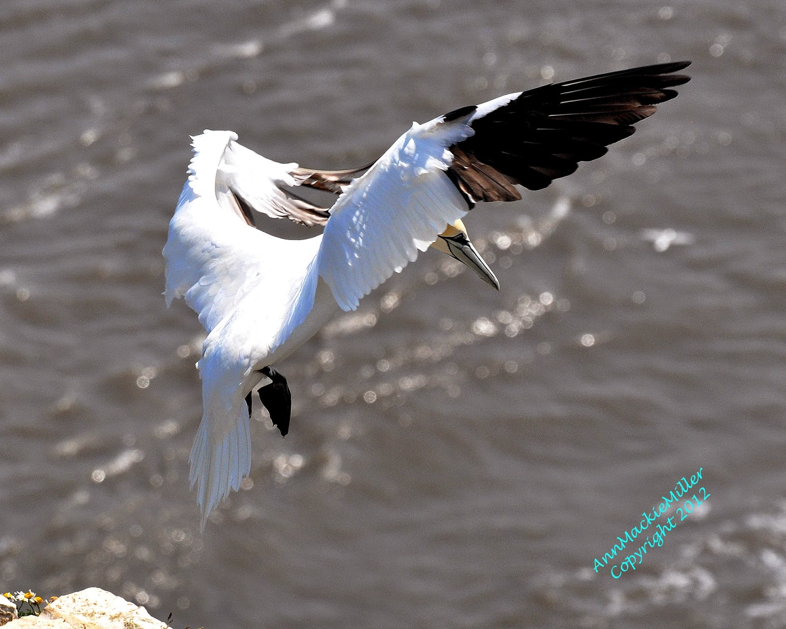Adult Gannet coming in to land RSPB Bempton Cliffs
