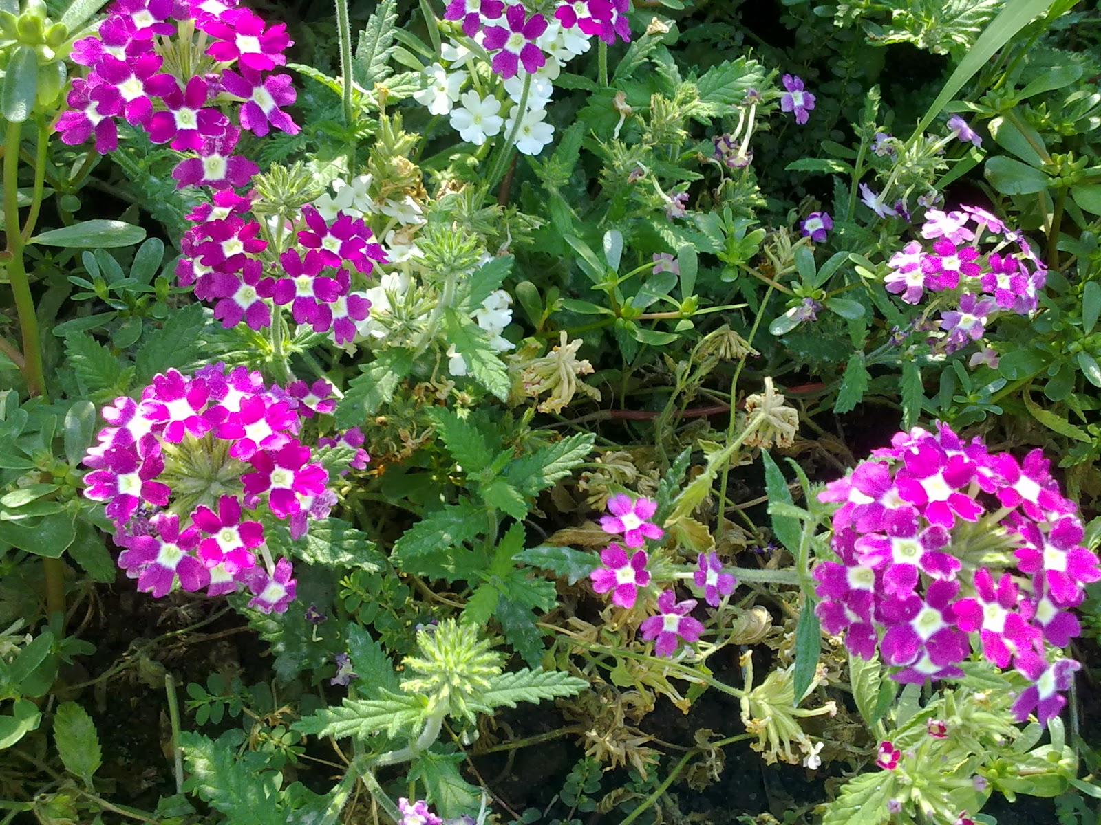 Jardines angelo flores para primavera y verano - Plantas de jardin exterior ...