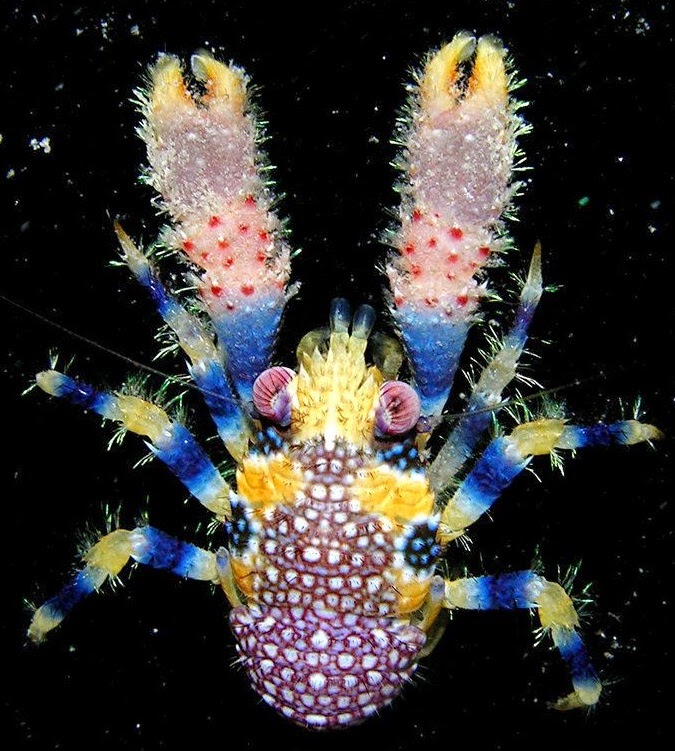Galathea pilosa, ridiculously beautiful lobster