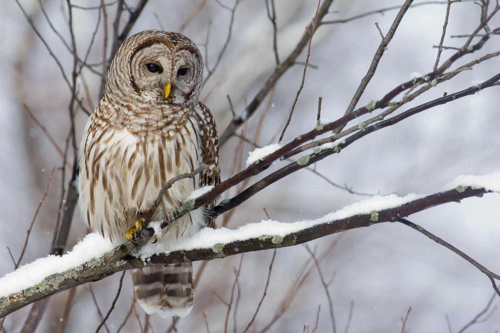 http://1.bp.blogspot.com/-qJa8f1wkchI/T981Co2tp5I/AAAAAAAA8Wo/YVQ3ePJCR2k/s1600/buho-en-la-nieve-owl-snow-aves-.jpg