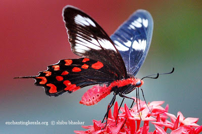 Crimson Rose [Pachliopta hector] Butterfly