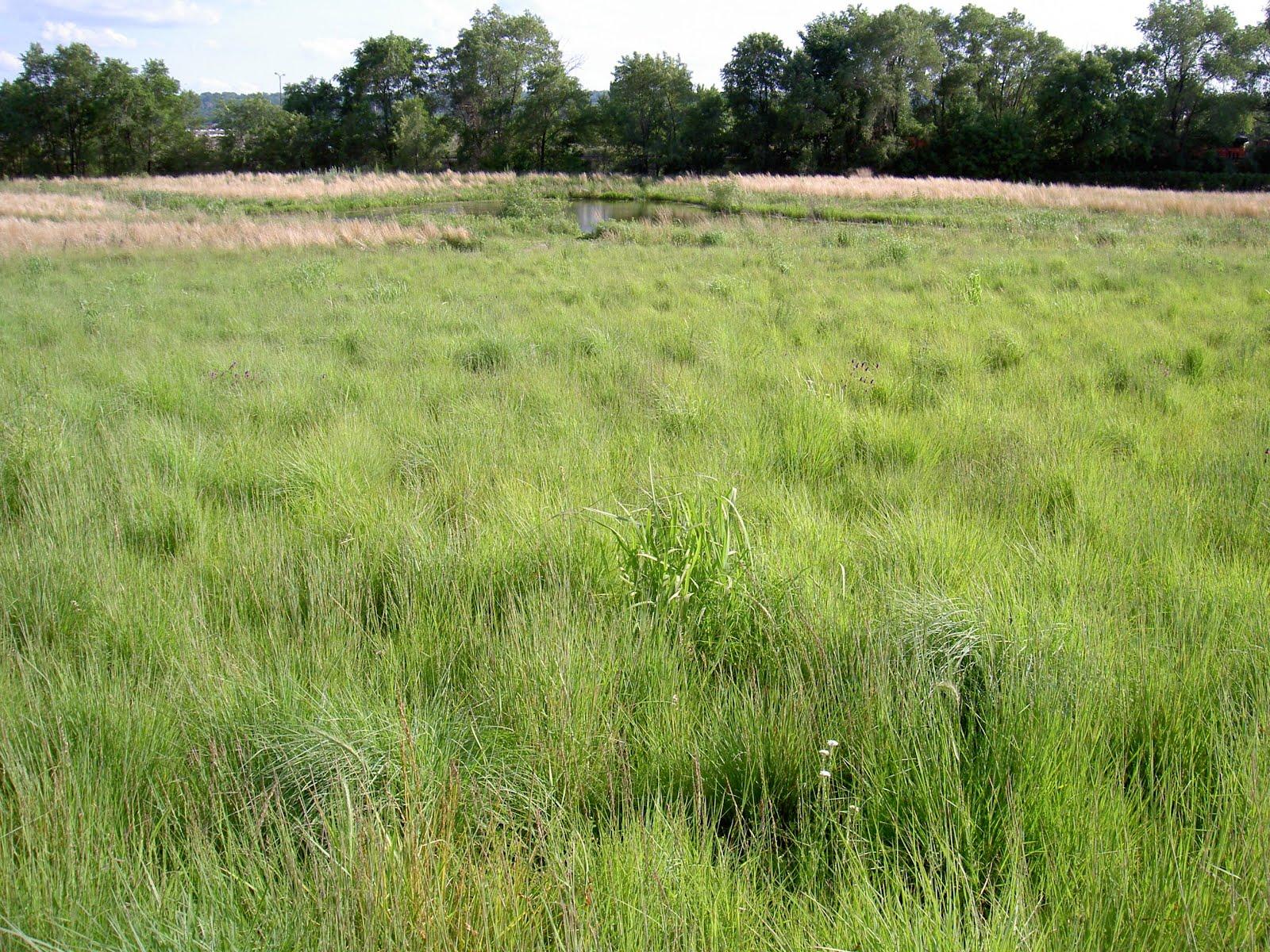 Tennis tousan prairie grass