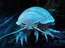 Giant Isopod - Hewan Teraneh