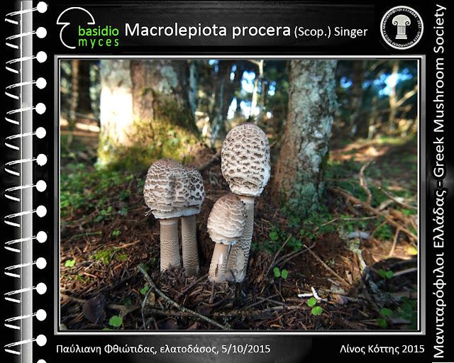 Macrolepiota procera var. procera (Scοp.) Singer