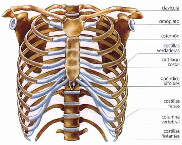 Los huesos del tórax   El Cuerpo Humano