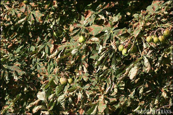 Zirgkastaņu mīnējošās kodes (Cameraria ohridella) bojātas lapas