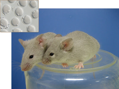 These adult mice grew from oocytes, or immature eggs, derived in vitro from induced pluripotent stem cells.