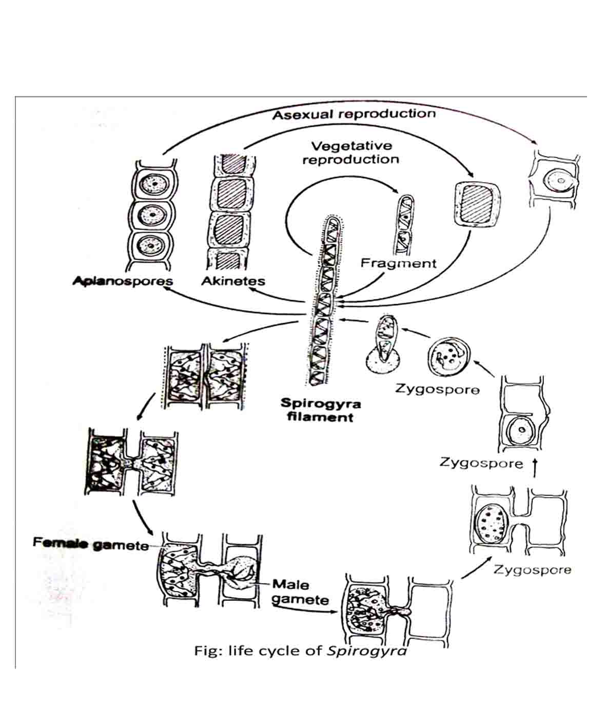 [ Spirogyra Reproduction Diagram 32 3 ] - Best Free Home ...