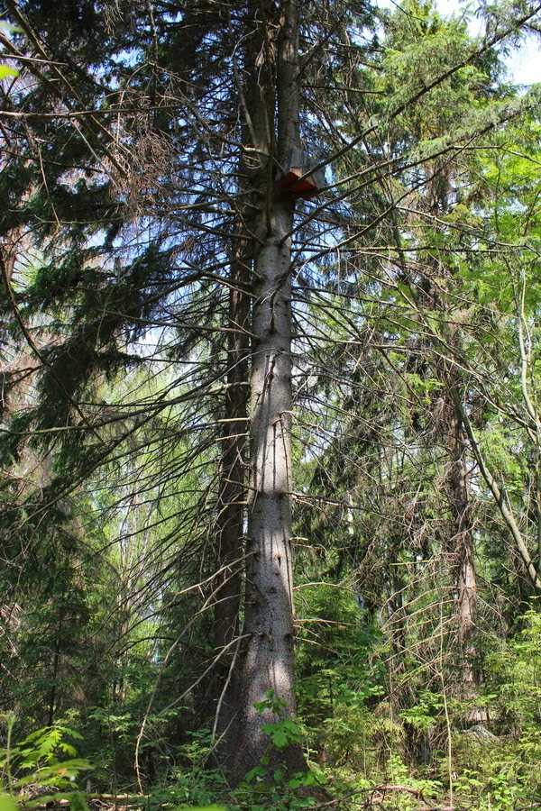 как уловлять рои пчел во  лесу