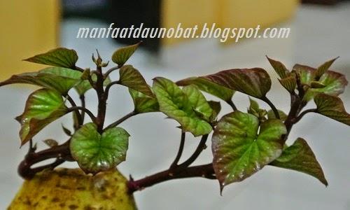 manfaat khasiat daun ubi jalar