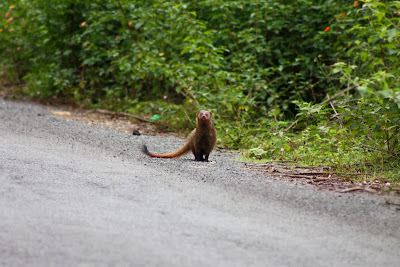 Wildlife like this mongoose can be seen in Satyamangalam tiger reserve, Erode District, Tamil Nadu