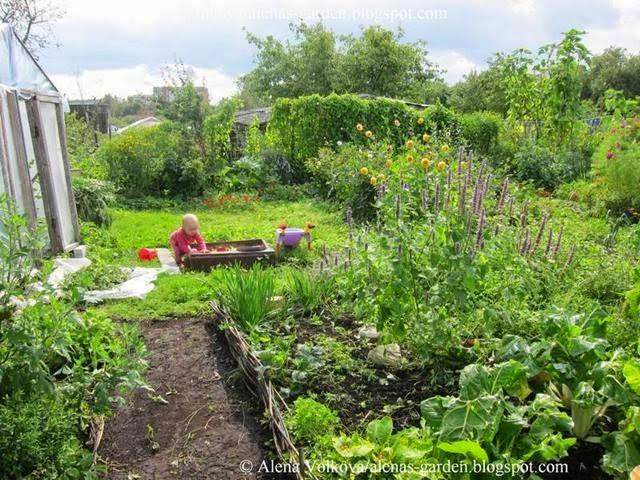 аленин сад, часть3, до, после, участок, дача, освоение участка, целина, сад, огород, песочница на даче, плетень, лофант, георгины